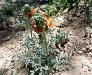Globemallow. On the way to the Monastery of the Desert, Abiqui, New Mexico