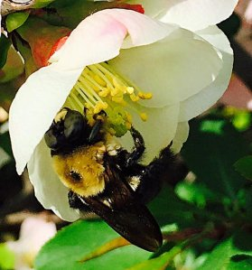 quince flower bee, National Arboretum, Washington DC April 2015